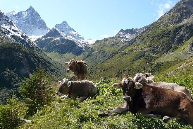 vaches du Sustenpass