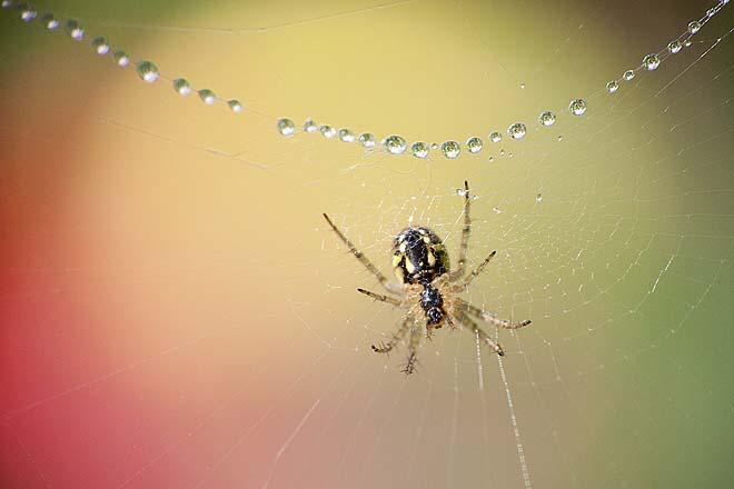 Araignée,Mangora acalypha