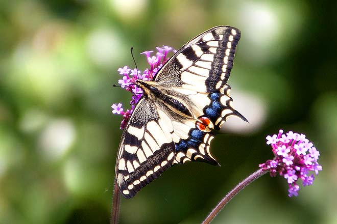 Papillon, Machaon