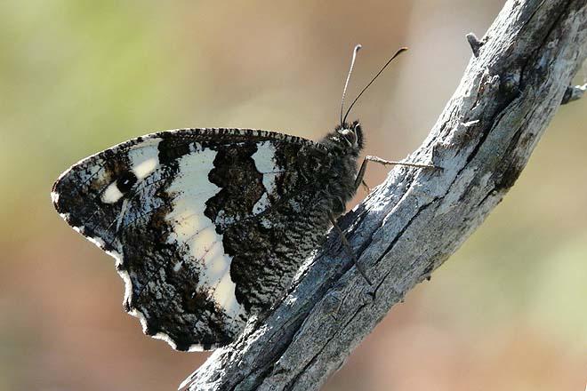 Papillon-Silène