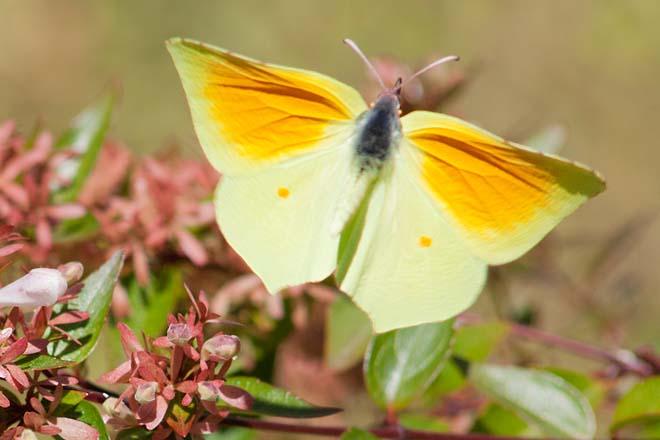 Papillon-Citron