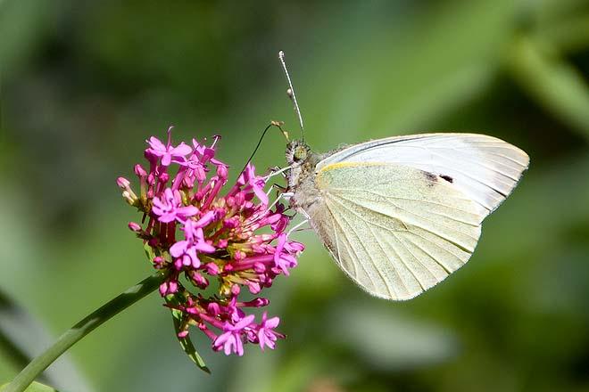 Papillon-Piéride de la rave