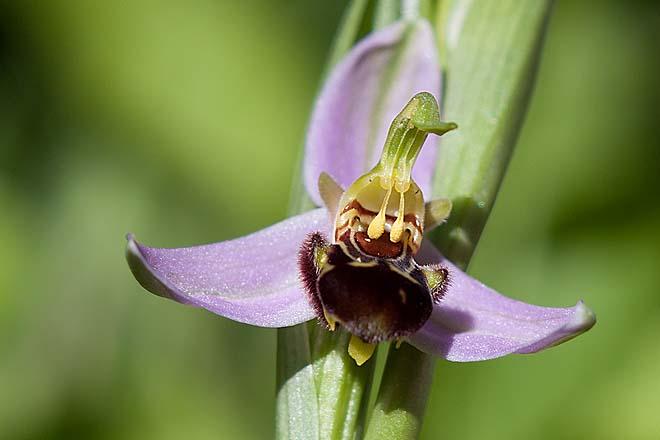 Orchidée, ophrys-apifera